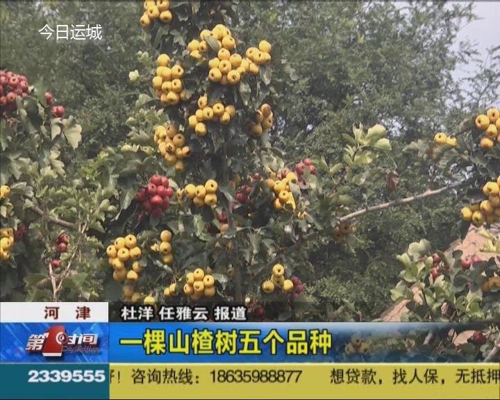 河津:一棵山楂树结出五种果
