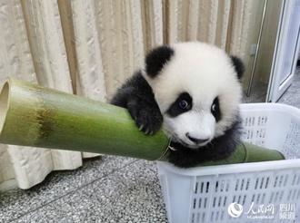 """圈粉无数!成都网红大熊猫""""绩笑""""今日被认养"""