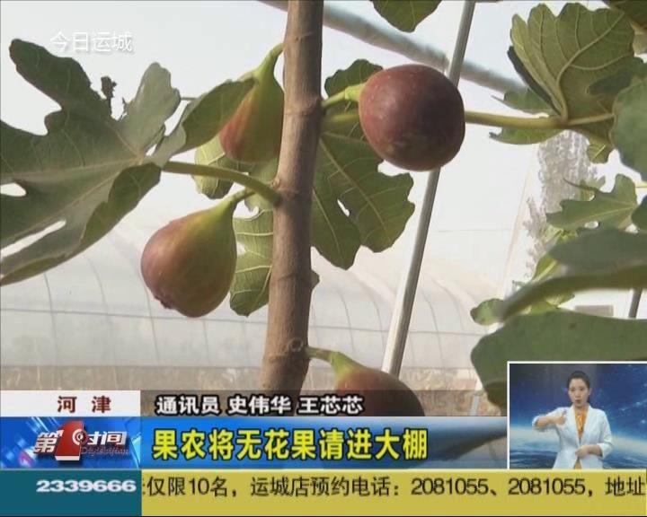 河津:果农将无花果请进大棚
