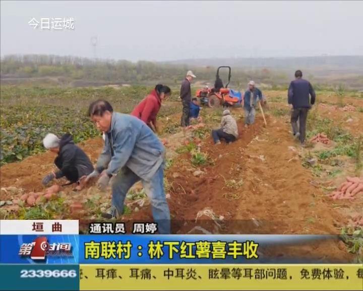 垣曲南联村:林下红薯喜丰收