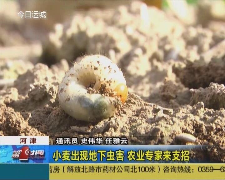 小麦苗遇地下虫害 专家告诉你如何治