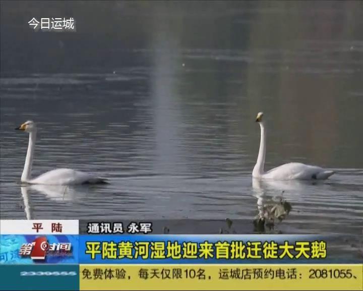 平陆黄河湿地迎来首批迁徙大天鹅