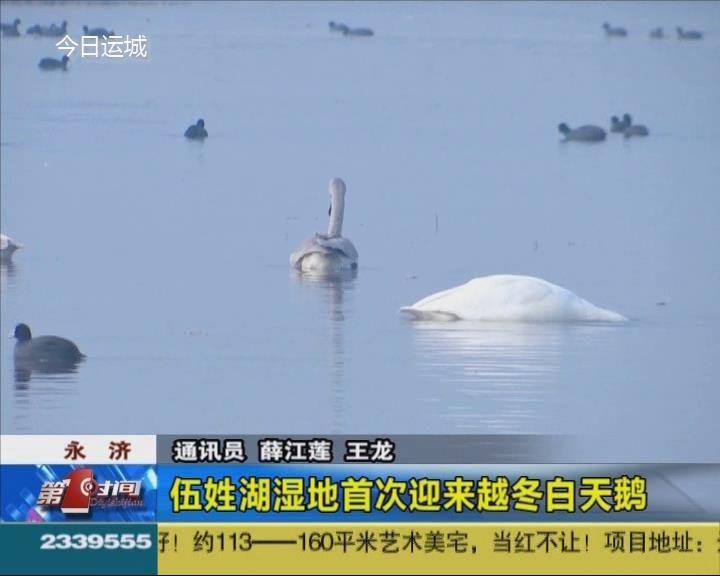 永济:伍姓湖湿地首次迎来越冬白天鹅