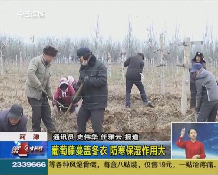 河津:葡萄藤蔓蓋冬衣 防寒保濕作用大