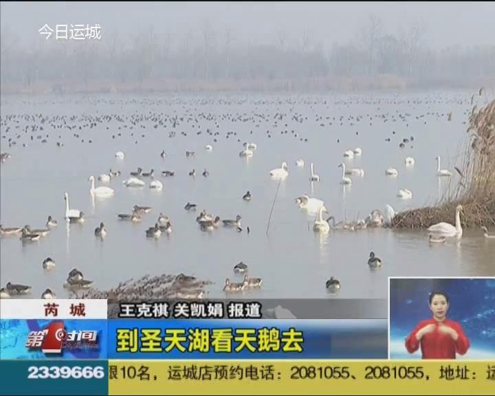 芮城:到圣天湖看天鵝去