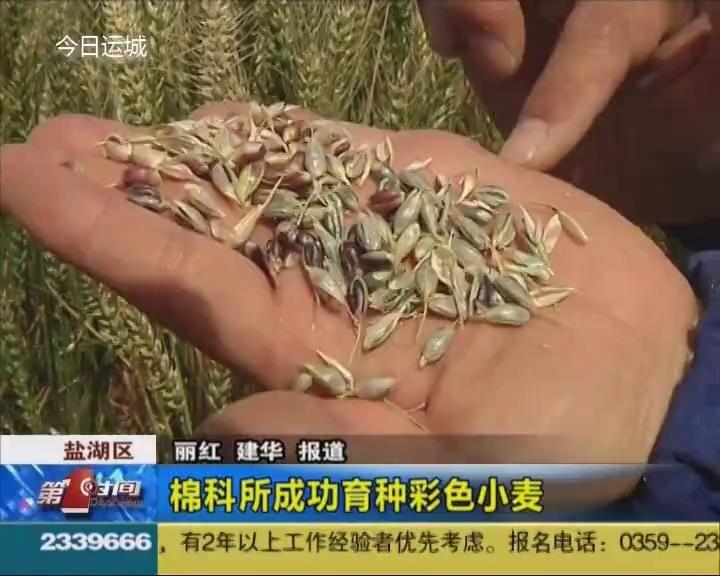 彩色小麦您见过吗?
