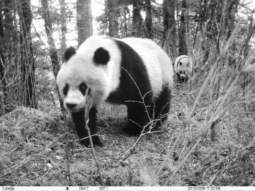 黄龙首次拍到野生大熊猫母子同框