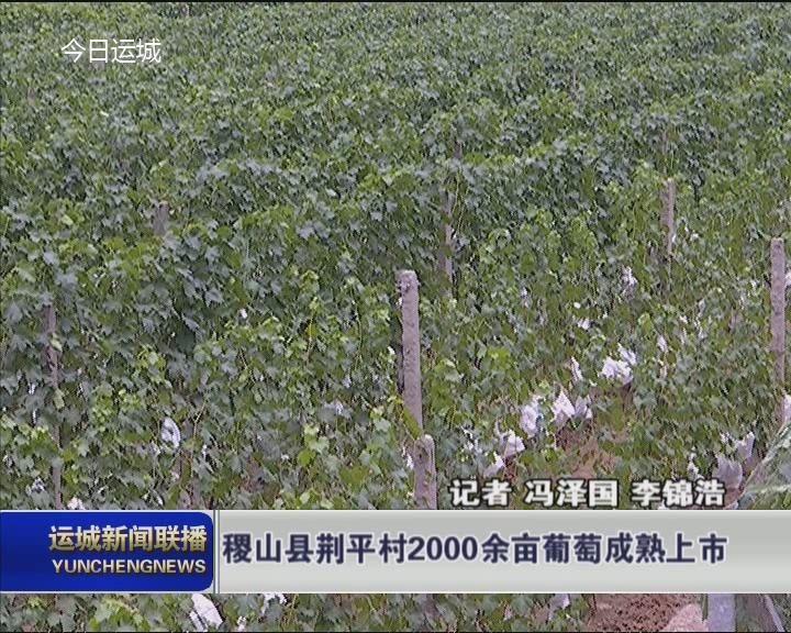 稷山县荆平村2000余亩葡萄成熟上市