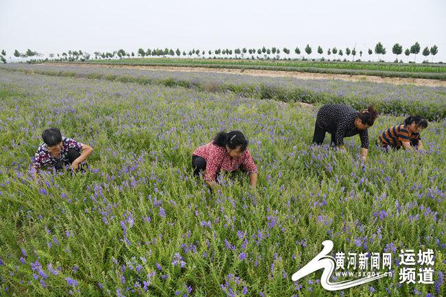 闻喜县沟渠头村发展中药材产业