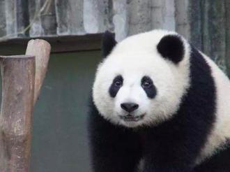"""莫斯科动物园将为大熊猫""""如意""""和""""丁丁""""庆祝生日"""