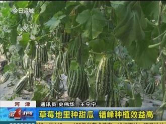 河津:草莓地里种甜瓜 错峰种植效益高