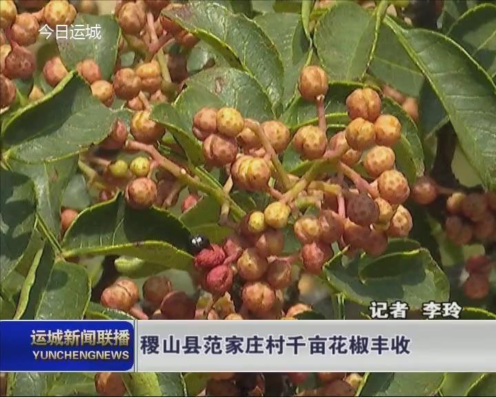 稷山县范家庄村千亩花椒丰收