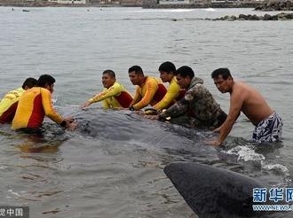 秘鲁:一只抹香鲸在海滩搁浅 警方和冲浪者进行救援