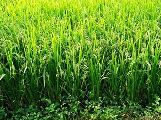 水稻抗稻瘟病钙通道蛋白调控分子机制揭示
