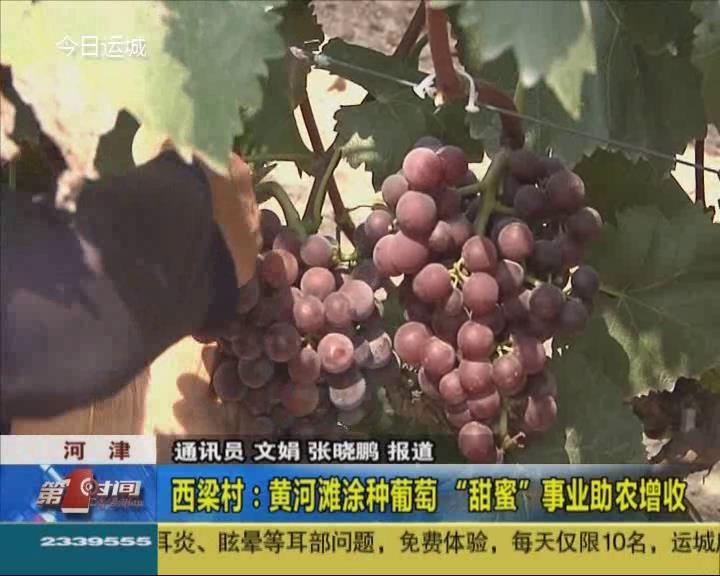"""河津西梁村:黄河滩涂种葡萄 """"甜蜜""""事业助农增收"""