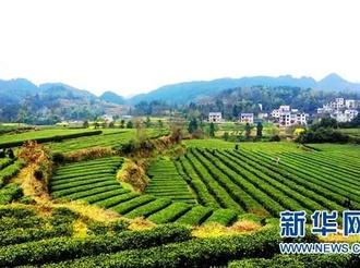 贵州茶叶连续8年抽检合格率100%