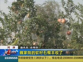 河津:魏家院的软籽石榴丰收了