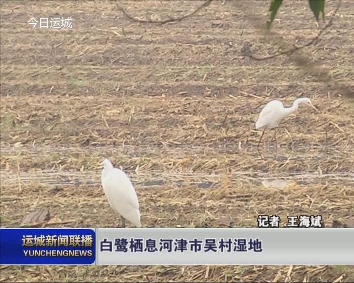 白鷺棲息河津市吳村濕地