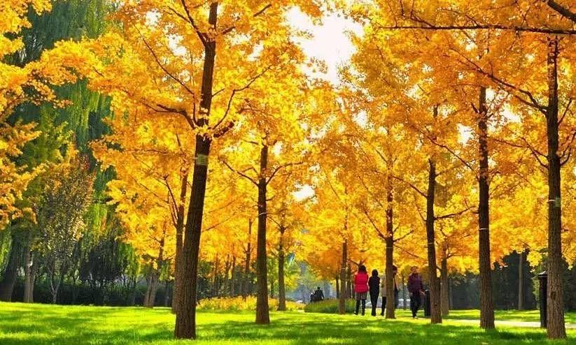 北京銀杏最佳觀賞期為11月上旬