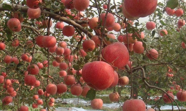 蘋果正紅景正美!在最甜的時候看最美的運城!