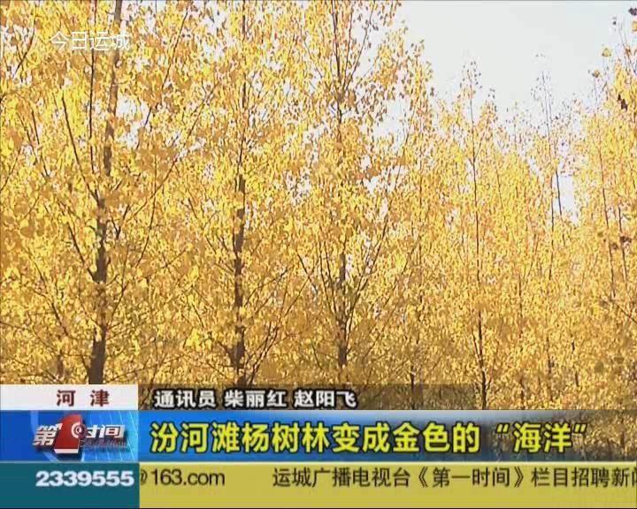 """河津:汾河灘楊樹林變成金色的""""海洋"""""""