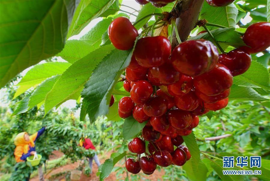 河北滦州:大樱桃甜透果农心