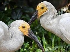 河南董寨國家級自然保護區一對朱鹮連續3年孵出4胞胎