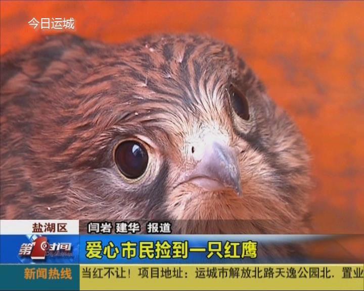 愛心市民撿到一只紅鷹