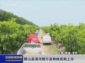 稷山县清河镇万亩鲜桃成熟上市
