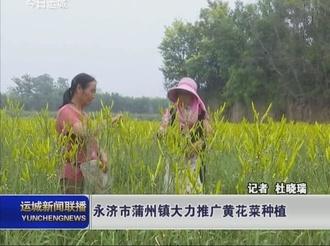 永济市蒲州镇大力推广黄花菜种植