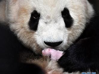 """2020年首只秦岭大熊猫宝宝诞生 实现""""四世同堂"""""""