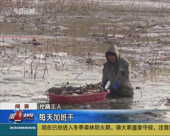 聞喜白水灘:采挖新鮮蓮藕 確保市場供應