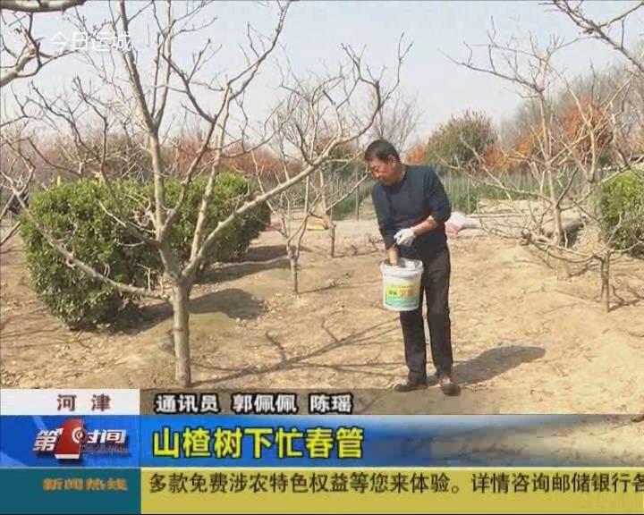河津:山楂樹下忙春管