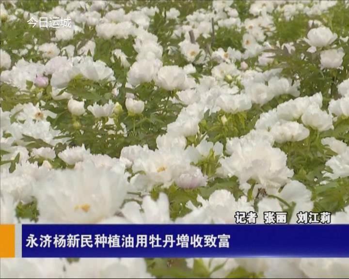 永濟楊新民種植油用牡丹增收致富