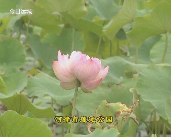 河津市蓮池公園荷花飄香